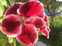 Rode bloemclose-up Stock Foto's