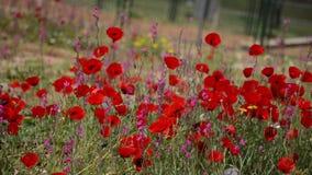 Rode bloemen stock videobeelden