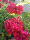 Rode bloemen Stock Foto's