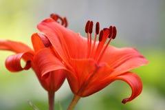 2 rode bloemen stock afbeelding