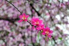 Rode Bloemen Bauhinia Royalty-vrije Stock Foto