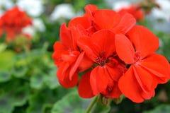 Rode bloemen in de groene tuin Royalty-vrije Stock Fotografie