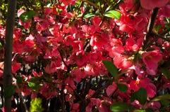 Rode bloemen in de tuin royalty-vrije stock afbeelding
