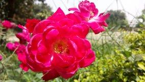 Rode bloemen die aardbeeld verbazen royalty-vrije stock foto
