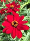 Rode bloemen in een tuin Stock Fotografie
