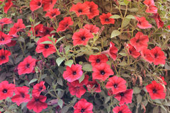 Rode bloemen in een tuin met klassieke stijlachtergrond royalty-vrije stock afbeelding
