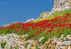 Rode bloemen en blauwe hemel Stock Fotografie