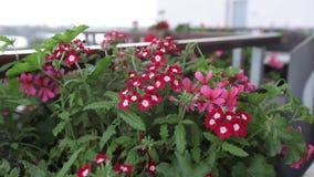 Rode bloemen en groene bladerenslingering in de wind stock videobeelden