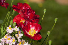 Rode bloemen en knoppen, Kolkata, India Stock Afbeeldingen