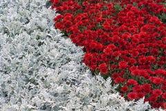 Rode bloemen en witte bladeren Tuinachtergrond Royalty-vrije Stock Foto's