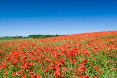 Rode bloemen, groen gras Stock Foto