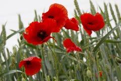 Rode bloemen, groen gras Royalty-vrije Stock Afbeelding