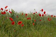 Rode bloemen, groen gras Royalty-vrije Stock Foto