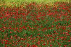 Rode bloemen, groen gras Stock Afbeelding