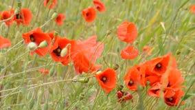 Rode bloemen, groen gras stock videobeelden