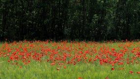 Rode bloemen, groen gras Stock Afbeeldingen