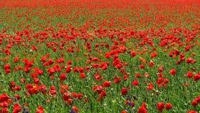 Rode bloemen, groen gras stock fotografie