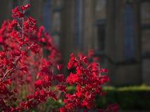 Rode bloemen in Keszthely, Hongarije Stock Foto