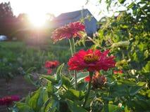 Rode bloemen met zonnestraal in vroege avond stock foto's
