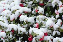 Rode bloemen onder de sneeuw stock afbeeldingen