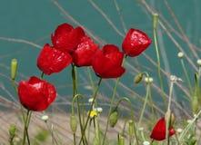 Rode bloemen op een blauwe achtergrond stock afbeeldingen