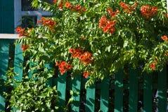 Rode bloemen op een groene omheining Royalty-vrije Stock Fotografie