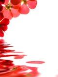 Rode bloemen over water stock afbeeldingen
