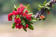 Rode bloemen Poi Sian Royalty-vrije Stock Foto