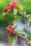 Rode bloemen Poi Sian Royalty-vrije Stock Foto's