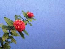 Rode bloemen tegen blauwe muur Royalty-vrije Stock Afbeeldingen