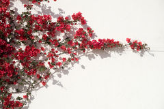 Rode bloemen tegen muur Royalty-vrije Stock Fotografie