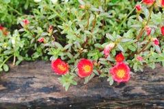 Rode Bloemen in tuin in Thailand Royalty-vrije Stock Afbeeldingen