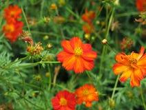 Rode bloemen in weide Stock Foto