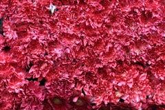 Rode bloemenachtergrond Royalty-vrije Stock Afbeeldingen