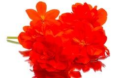 Rode bloemenbegonia's op een wit Royalty-vrije Stock Afbeeldingen