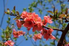 Rode bloemenkweepeer, Cydonia-oblonga stock fotografie