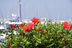 Rode bloemenstruik Stock Afbeeldingen