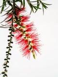Rode BloemFlesseborstel, Callistemon-citrinus Stock Afbeeldingen