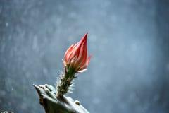 Rode bloemknop op een cactus Stock Afbeeldingen