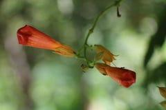 Rode bloemknoppen Royalty-vrije Stock Afbeelding