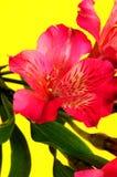 Rode bloemmacro Stock Foto