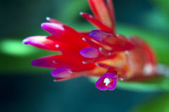 Rode bloemrijke bromelia Royalty-vrije Stock Foto's