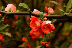 Rode bloesem op boom Stock Foto's