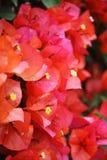Rode bloesems Bouganvillea Royalty-vrije Stock Afbeeldingen