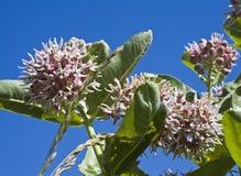 Rode bloesems Milkweed royalty-vrije stock fotografie