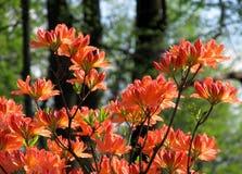 Rode bloesems van een boom Royalty-vrije Stock Foto