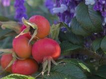 Rode bolbloemen Royalty-vrije Stock Afbeeldingen