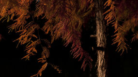 Rode boom bij de herfst Stock Foto