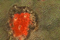 Rode Boring Spons (celata Cliona) royalty-vrije stock foto