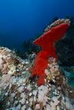 Rode boring spons in het Rode Overzees royalty-vrije stock afbeeldingen